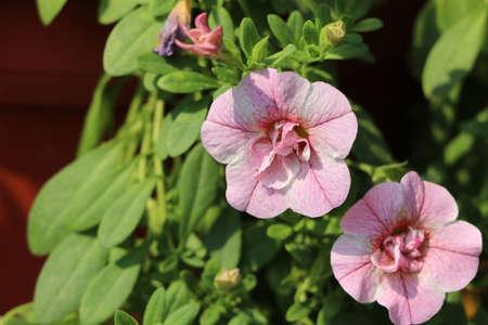 Light pink color of petunia multiflora flower on green tree background. Petunia is genus of 20 species of flowering plants of South American origin. Stok Fotoğraf
