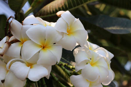 White and yellow color of frangipani flowers and green background. Plumeria grown as cosmopolitan ornamentals in warm regions.