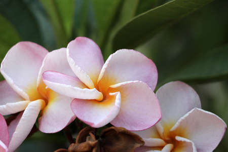 Pink and white color of frangipani flowers and green background. Plumeria grown as cosmopolitan ornamentals in warm regions. Stok Fotoğraf