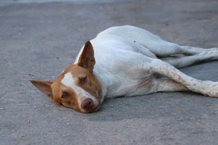 White and brown color of Thai stray dog laying down on the floor. It is a dog that lives on the streets or temple and does not have an owner.