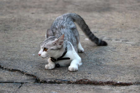 A gray and white cat is acting to attack the victim on the grey concrete floor.