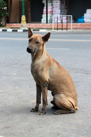 Brown color of stray dogs sitting on the roadside.