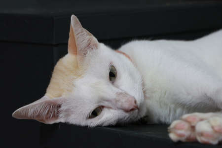A white cat lying on a black box. 版權商用圖片