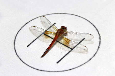 Dragonfly on the symbolic of helicopter parking on the white background. it is a fast flying long bodied predator insect with two pairs of large wings that are spread out sideways.