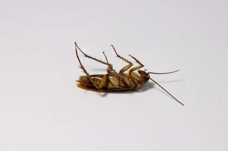 Dead cockroach, lie supine on the white background.