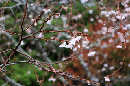 Light pink cherry blossom bloom on the branch after the rain. Sakura flower blooming on the limb of tree.