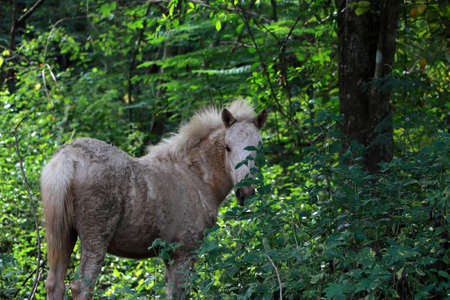 A sloppy white horse in the forest green trees.