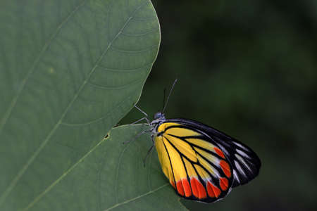 The butterfly perched on green leaf. Delias hyparete, the painted Jezebel, is a medium-sized butterfly of the family Pieridae, found in South Asia and Southeast Asia.