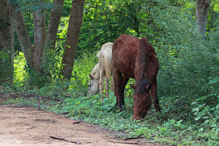 Two horses eating green grass on the ground. it is a mammal with a flowing mane and tail, used for riding, racing, and to carry and pull loads. Archivio Fotografico