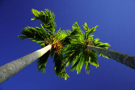 Betel palm and ripe fruit on blue background  photo