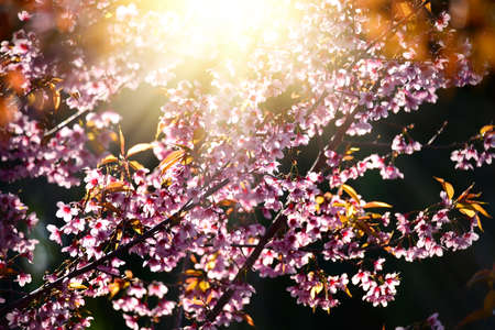 Beautiful bloom pink cherry blossom sakura flowers on morning sunlight background,  Spring flower field background.