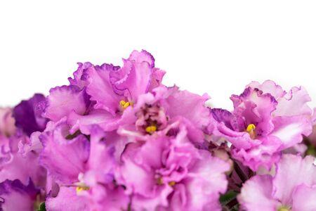 Viola Flower Close up. African Violets Senpolia