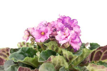 Viola Flower Close up. African Violets Senpolia Banque d'images