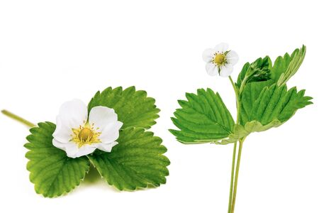 Strawberry Flower and Leaves on White Background