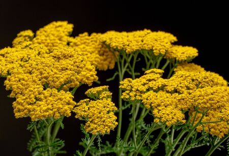 Yarrow Flowers Close up Standard-Bild