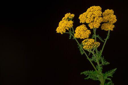 Yarrow Yellow Flowers Achillea Filipendulina
