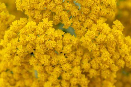 Yarrow Flowers Background