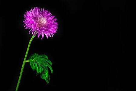 Purple Flower Isolated on The Black Background