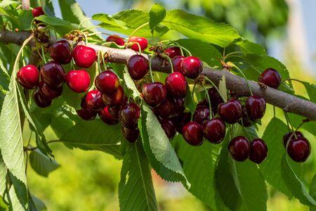 Fresh Organic Cherry on Tree Close up Standard-Bild