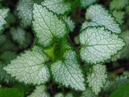 Beautiful two colored green adn white plant. The leaves of Lamium Beacon Silver in the garden close-up. Bush of Lamium . Top view. Botanical pattern. Greenery nettle. Nature concept.