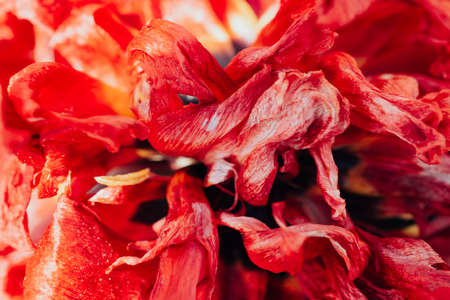 Wild petals and stem of dry faded tulip form vibrant macro composition. Vintage realistic closeup of dried red flower for wallpaper design. Bloggers design concept. Symbol of fade time and sad love.