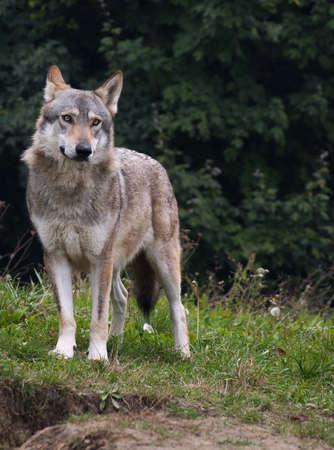 lobo feroz: Lobo de Serbia Foto de archivo