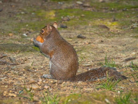 Squirrel eating a nut in the park of Genova Nervi photo