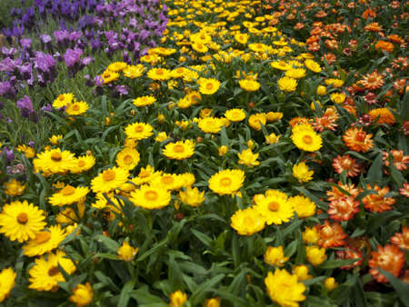 great expanse of flowers in the meadow Stock Photo - 11872190