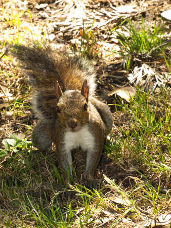 Squirrel in the park of Genova Nervi photo