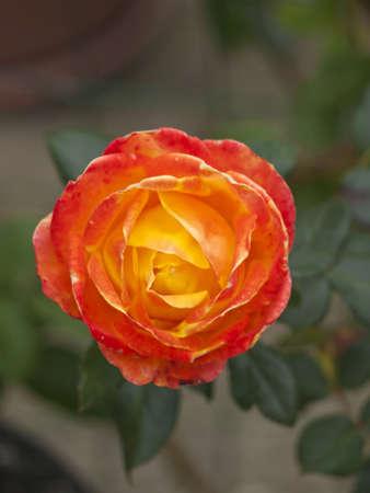 close up of orange Rose Stock Photo - 12213994