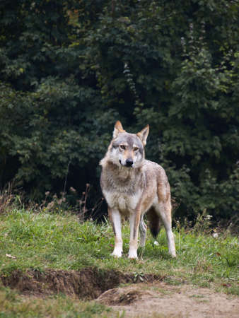 lupus: Wolf of serbia Stock Photo