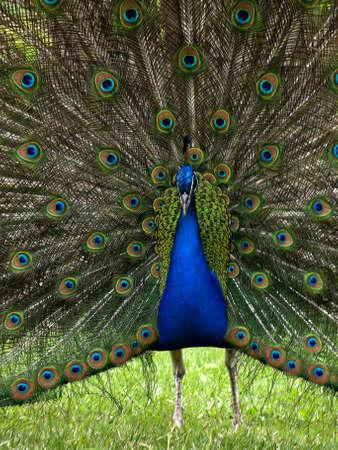 peacock wheel: pavone apre la sua ruota Archivio Fotografico