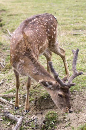 ungulates: baby deer graze in the meadow