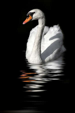 swan reflected in  dark water photo