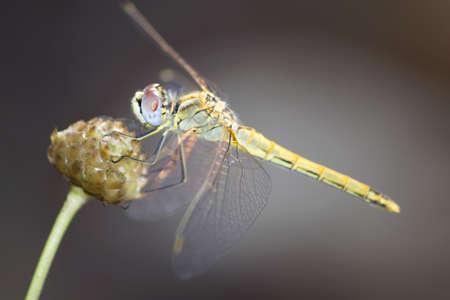 splendens: dragonfly outdoor  coleopteres splendens