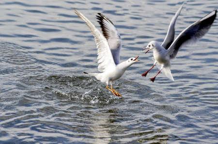 battle between gulls Stock Photo - 17480184