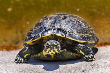 emys: Emys orbicularis, the European pond turtle
