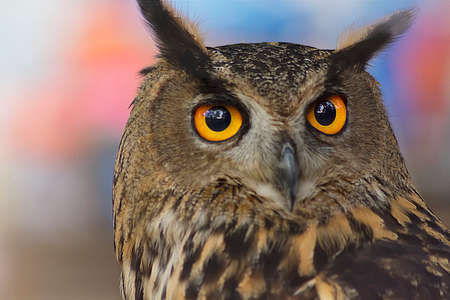 Closeup of a big horned owl