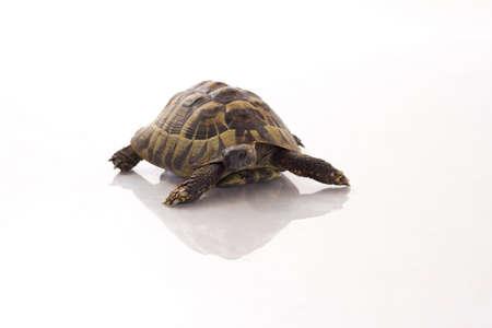 shiny floor: Greek land turtoise, Testudo Hermanni, shiny white floor and white studio background Stock Photo