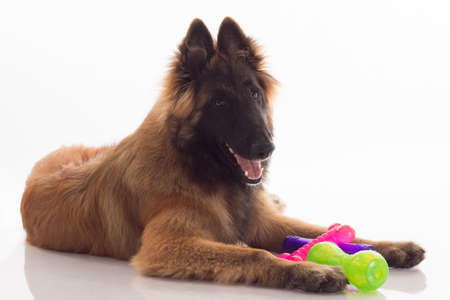 Belgian Shepherd Tervuren puppy, playing with colored toys, white studio background