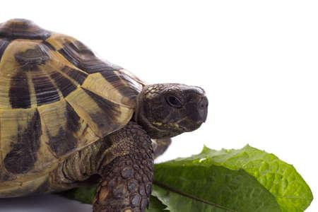 reptillian: Greek land tortoise, Testudo Hermanni, white studio background
