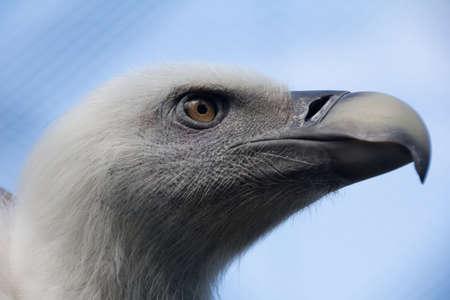 gyps: Headshot of young Griffon vulture Gyps fulvus
