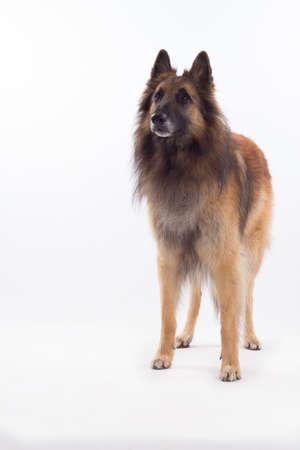 domestication: Belgian Shepherd Tervuren dog standing isolated on white studio background