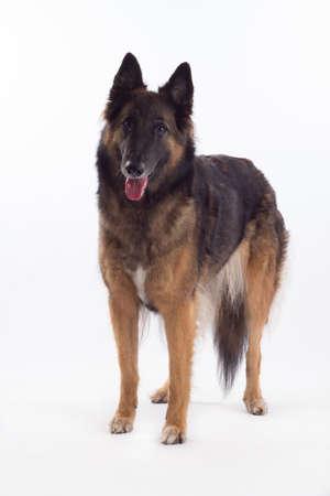 puta: Belga Tervuren perra pastor de pie aislado en fondo blanco del estudio