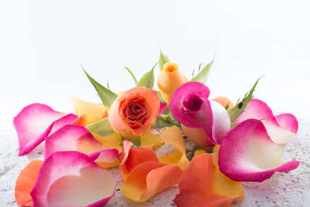rose coloured: Roses and petals isolated on white background Stock Photo