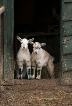 door opening: Two young four horned goats standing in door opening of stable Stock Photo