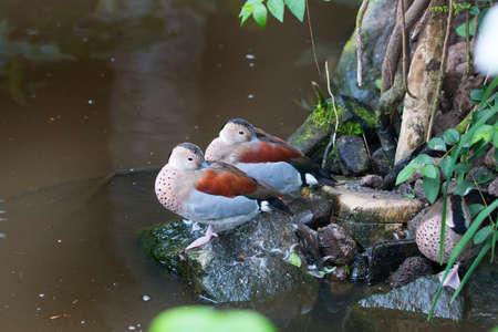 ringed: Ringed teals, ducks