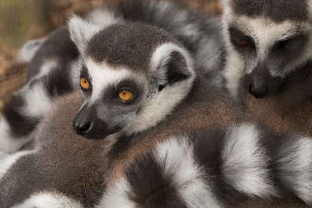 monkies: Lemur Stock Photo