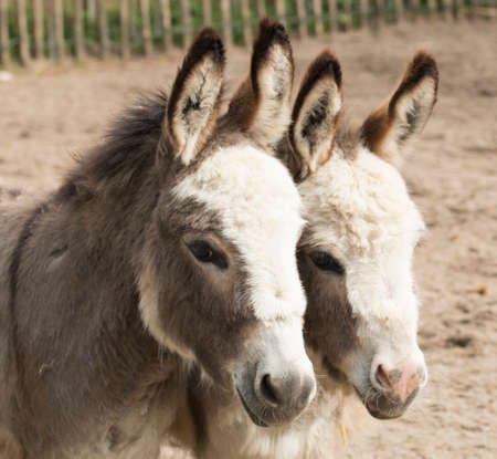 close together: Headshot of two donkeys heads close together