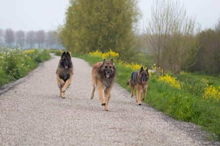 domestication: Three Belgian Shepherd Tervuren dogs running outside